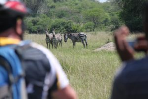 Fahrrad-Safari hautnah in Uganda: Zebras im Lake Mburo Nationalpark