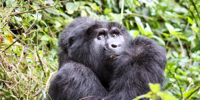 Bwindi Impenetrable Nationalpark Uganda Reisen Informationsportal