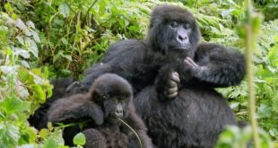 Gorilla Safari und Tracking